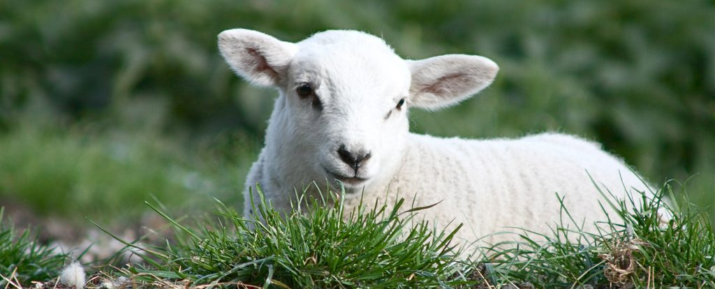 White lamb sitting quietly in a field